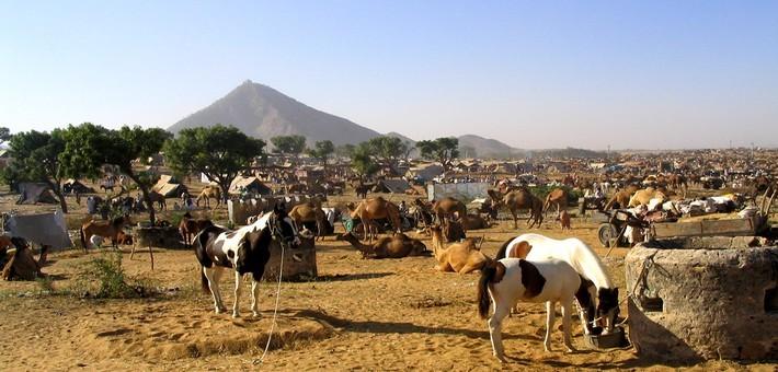 La foire de chevaux Marwaris à Pushkar.