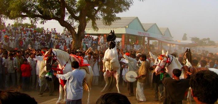 Concours de chevaux Marwaris à la foire de Pushkar.