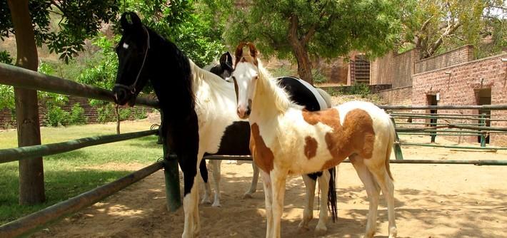 Poulain Marwaris au Haras National du cheval Marwaris