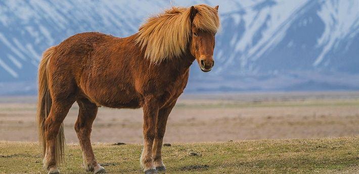 Le Poney Zanskar