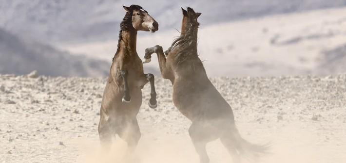 Caractéristiques des chevaux du Namib