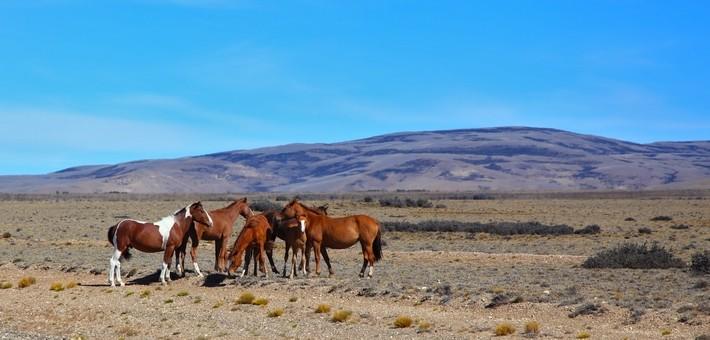 Caractéristiques du cheval Criollo
