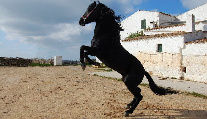 Caractéristiques du cheval Minorquin