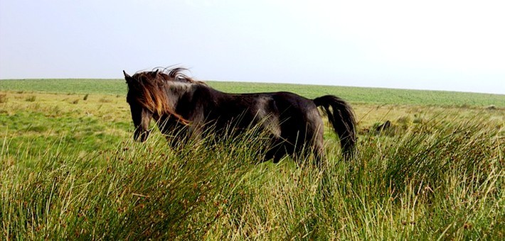 Le poney Dartmoor