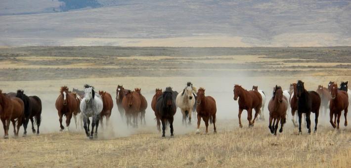 Le cheval Mustang à l'état sauvage