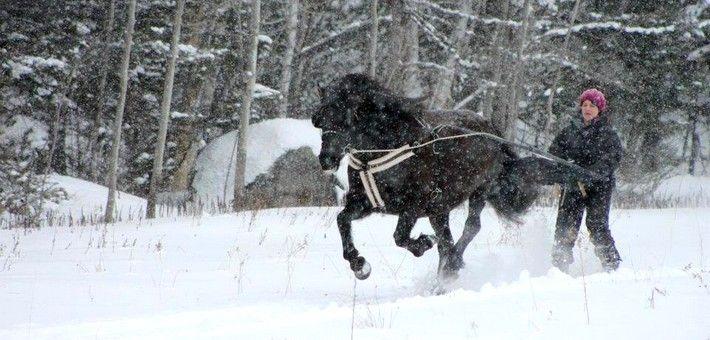 Découverte du cheval canadien