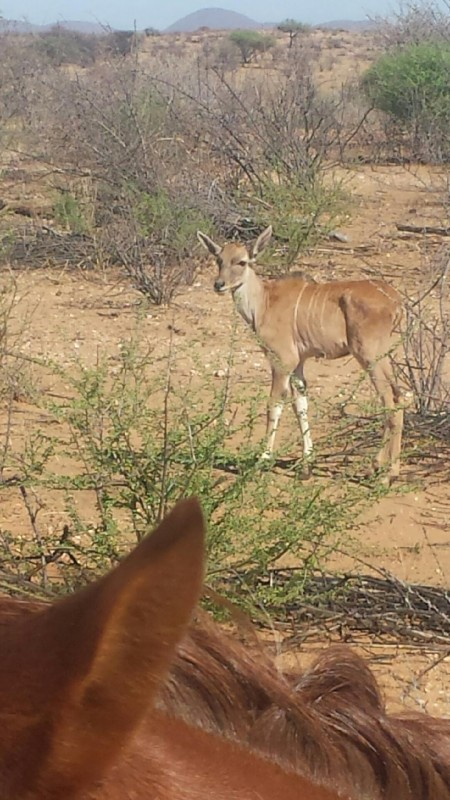Antilope !