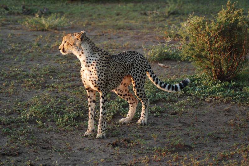 Les guépards sont peu farouches à Mashatu