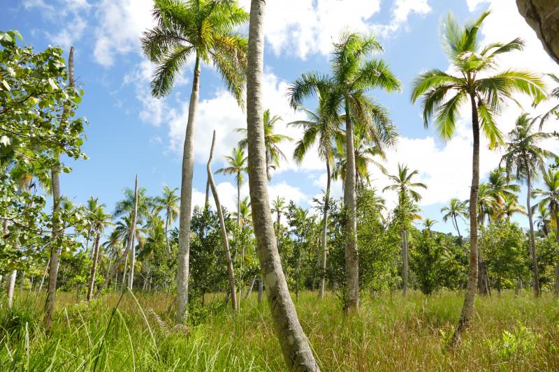 Dans les cocotiers